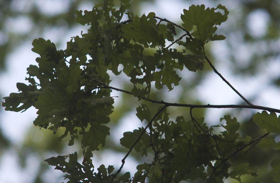 So genannte Frühlingsraßgemeinschaften machen sich derzeit auch im Eichenwäldchen über das Laub der Eichen her. (Foto: Jörg Levermann)