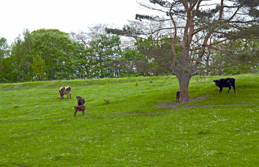 Diese Rinder auf einer Weide bei Buckow in der Märkischen Schweiz scheinen wirken zufrieden. In Brandenburg ist das ein seltenes Bild. Denn im Land gibt es viele landwirtschaftliche Betriebe, die Tiere in großer Zahl in Ställen halten. (Foto: Jörg Levermann)