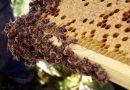Wie Hobby-Gärtner Bienen Futter geben können