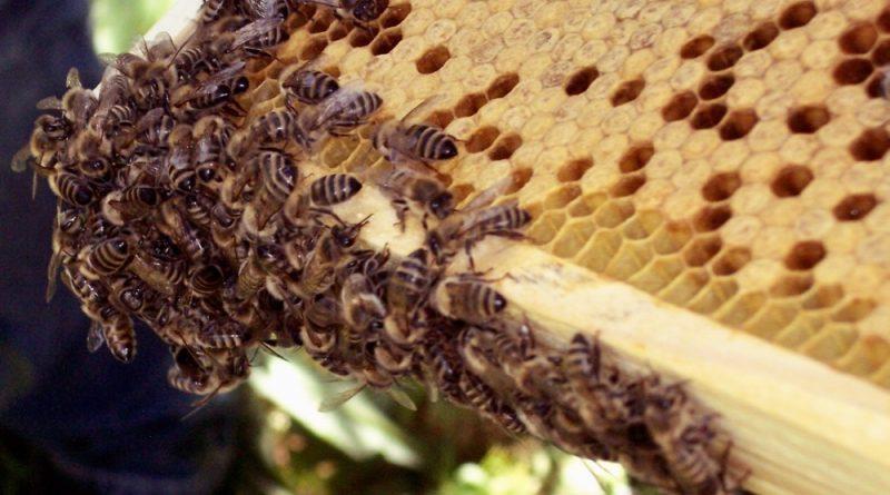 Bienen geben nicht nur Honig, sondern sorgen auch für eine gute Ernte in der Landwirtschaft und im eigenen Garten. (Foto: Jörg Levermann)